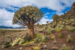 Inheemse quivverboom Royalty-vrije Stock Afbeeldingen