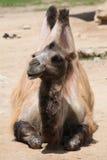 Inhemsk Bactrian kamel (Camelusbactrianusen) Arkivbilder