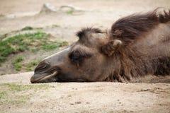 Inhemsk Bactrian kamel (Camelusbactrianusen) Fotografering för Bildbyråer