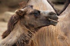 Inhemsk Bactrian kamel (Camelusbactrianusen) Royaltyfri Fotografi