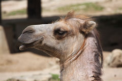 Inhemsk Bactrian kamel (Camelusbactrianusen) Royaltyfria Foton