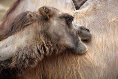 Inhemsk Bactrian kamel (Camelusbactrianusen) Arkivbild