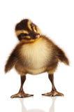 inhemsk duckling Arkivbild