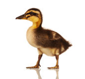 Inhemsk duckling Royaltyfria Foton