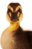 Inhemsk duckling Arkivfoto