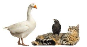 Inhemsk gås som ner ser på en katt och en alika som isoleras Fotografering för Bildbyråer