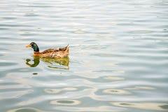 Inhemsk gräsand Duck Swimming i dammet Royaltyfri Bild
