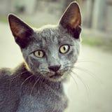 inhemsk grå stående för djur katt Royaltyfri Foto