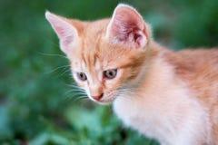 Inhemsk gullig gul kattunge i gräset Arkivfoton