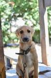 Inhemsk hund på en ledning Royaltyfria Bilder