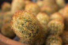 Inhemsk kaktuscloseup i öken Royaltyfria Bilder