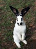 inhemsk kaninstanding Royaltyfri Bild