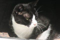 Inhemsk katt för smoking Arkivfoto