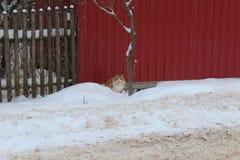 Inhemsk katt i snön Det är svårt att flytta sig Går till katten royaltyfri bild