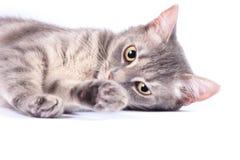 Inhemsk katt, kattunge Fotografering för Bildbyråer