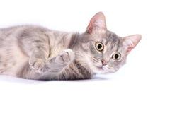 Inhemsk katt, kattunge Royaltyfri Fotografi