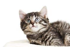 Inhemsk katt, kattunge som ser upp Royaltyfri Fotografi