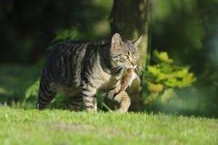 Inhemsk katt med den fångade musen Royaltyfria Bilder