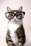 Inhemsk katt med glasögon Arkivfoto