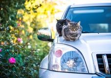 Inhemsk katt på huven av bilen skämmde bort husdjur royaltyfri bild