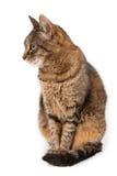 Inhemsk katt på vit bakgrund Arkivfoto