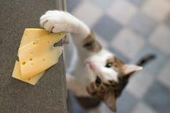 Inhemsk katt som försöker att stjäla skivan av ost från en tabell royaltyfri bild