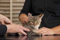 Inhemsk katt som undersöks på veterinären Arkivbild