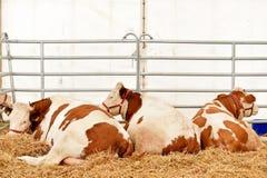 Inhemsk ko som betar i en lantgård Royaltyfri Fotografi