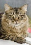 Inhemsk långhårig kattdjur Royaltyfri Fotografi