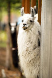 Inhemsk lama som äter Hay Farm Livestock Animals Alpaca Royaltyfria Bilder