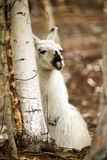 Inhemsk lama som äter Hay Farm Livestock Animals Alpaca Royaltyfri Foto