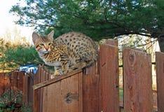 Inhemsk Serval Savannah Kitten Royaltyfri Fotografi