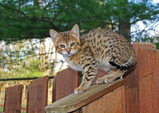 Inhemsk Serval Savannah Kitten Arkivfoton