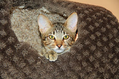 Inhemsk Serval Savannah Kitten Royaltyfri Foto
