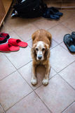 Inhemsk vakthund arkivfoto