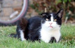 inhemsk white för svart katt Arkivbilder
