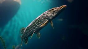 Inhemska akvarier innehåller den exotiska fisken i varmt blått vatten stock video