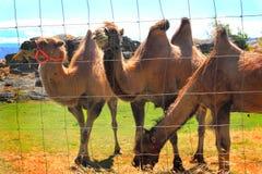 Inhemska Bactrian kamel Arkivfoton
