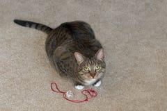 Inhemska Cat Looks Up från lek Arkivfoto