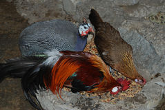 Inhemska fåglar äter kärnar ur Arkivfoto