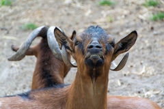 Inhemska getter, lantgårddjur Royaltyfri Fotografi