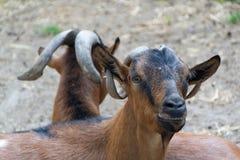 Inhemska getter, lantgårddjur Arkivfoto