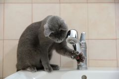 Inhemska katter är stora husdjur som ska kelas och kramas arkivbild