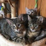 Inhemska katter fotografering för bildbyråer