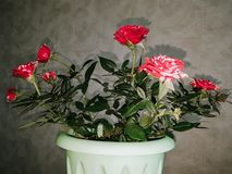 Inhemska mini- rosor med röda och vita kronblad royaltyfria foton