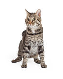 Inhemska Shorthair Tabby Cat Sitting Arkivbilder