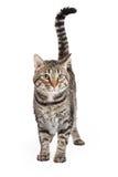Inhemska Shorthair Tabby Cat Standing arkivfoton