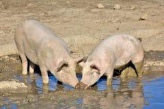 Inhemska svin med deras smutsiga nosar i en dypöl Royaltyfri Bild