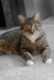 Inhemska Tabby Cat på matta Fotografering för Bildbyråer