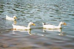 Inhemska vita Duck Swimming i dammet Arkivfoton